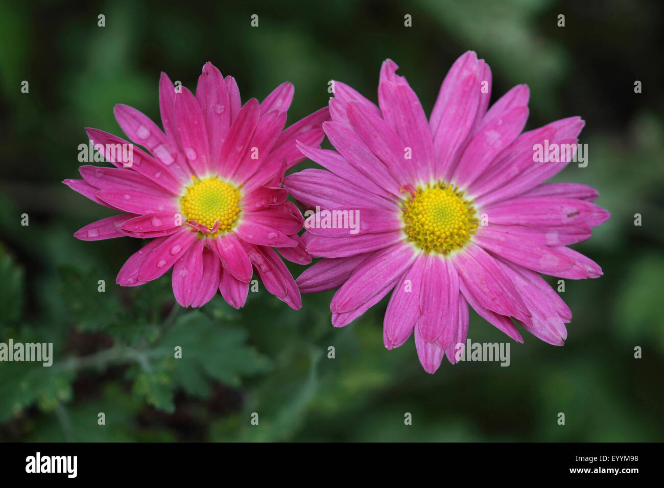 Costmary, Chinese Aster, Chrysanthemum, Mum, Garden Mum (Dendranthema x grandiflorum, Dendranthema grandiflorum, - Stock Image