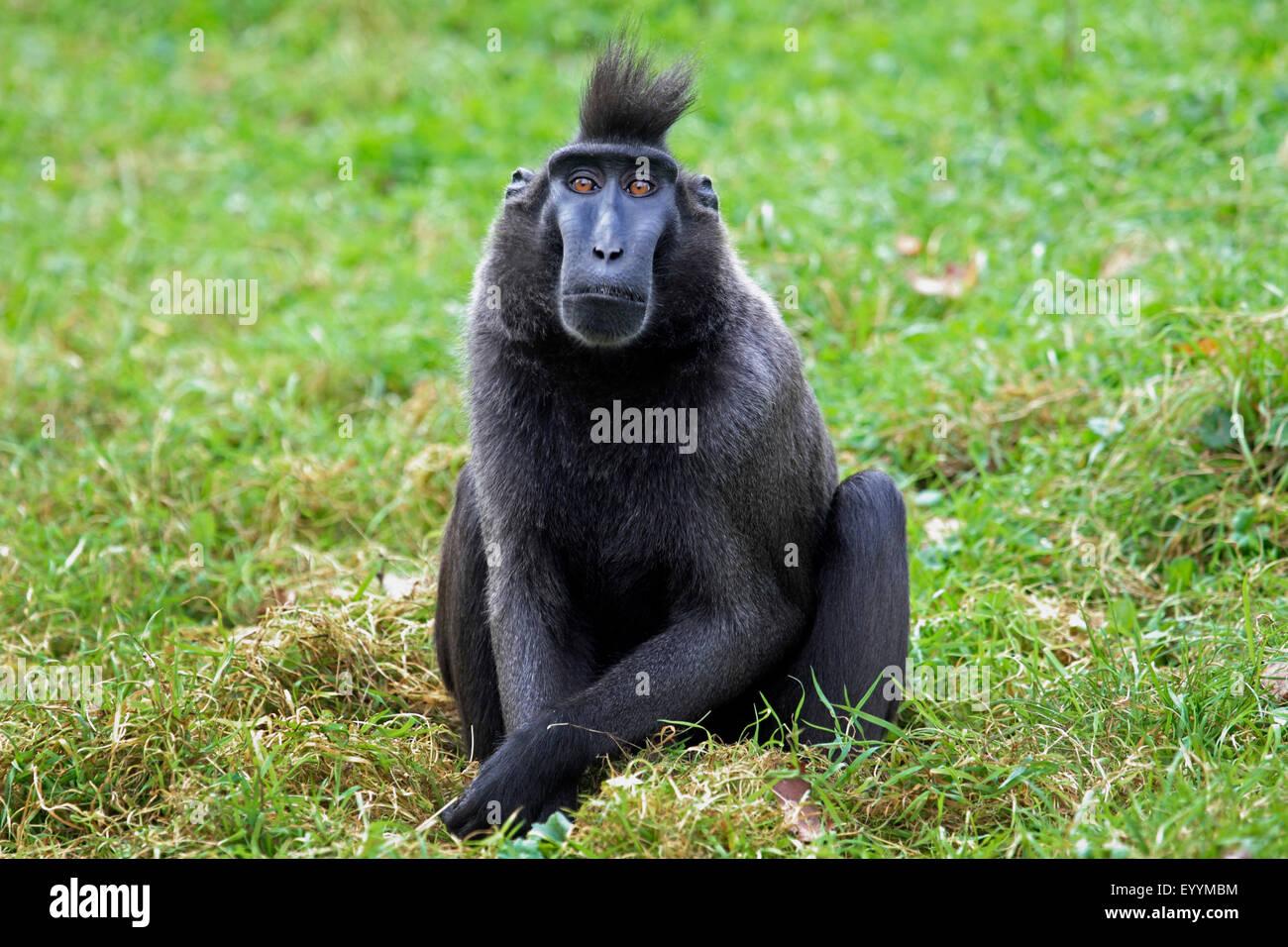 celebes ape celebes black ape celebes crested macaque macaca