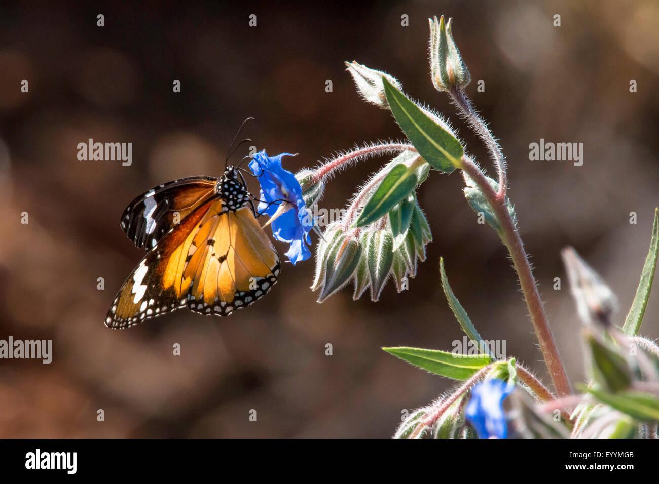 monarch butterfly, milkweed (Danaus plexippus), Monarch Butterfly introduced in Australia, Australia, Western Australia, - Stock Image