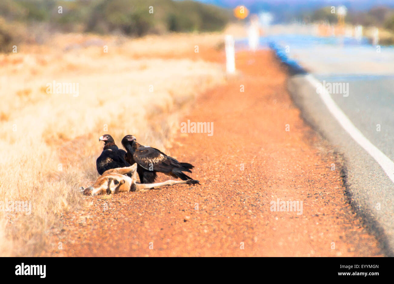 wedge-tailed eagle (Aquila audax), wedge-tailed eagles at knocked down kangaroo, Australia, Western Australia, Great Stock Photo