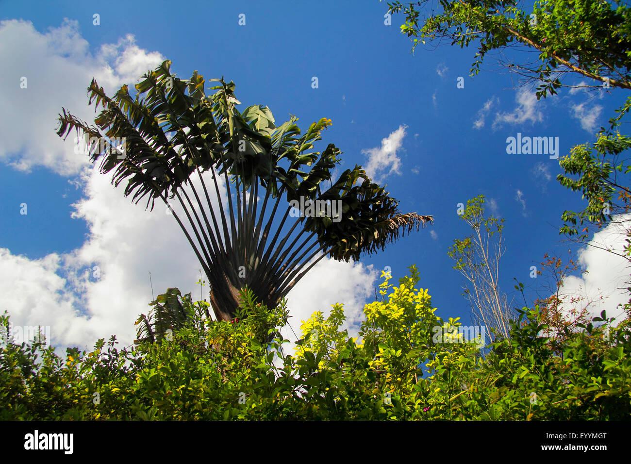 traveller's tree (Ravenala madagascariensis), view to the fan bracing tree crown, Madagascar, Analamazaotra - Stock Image