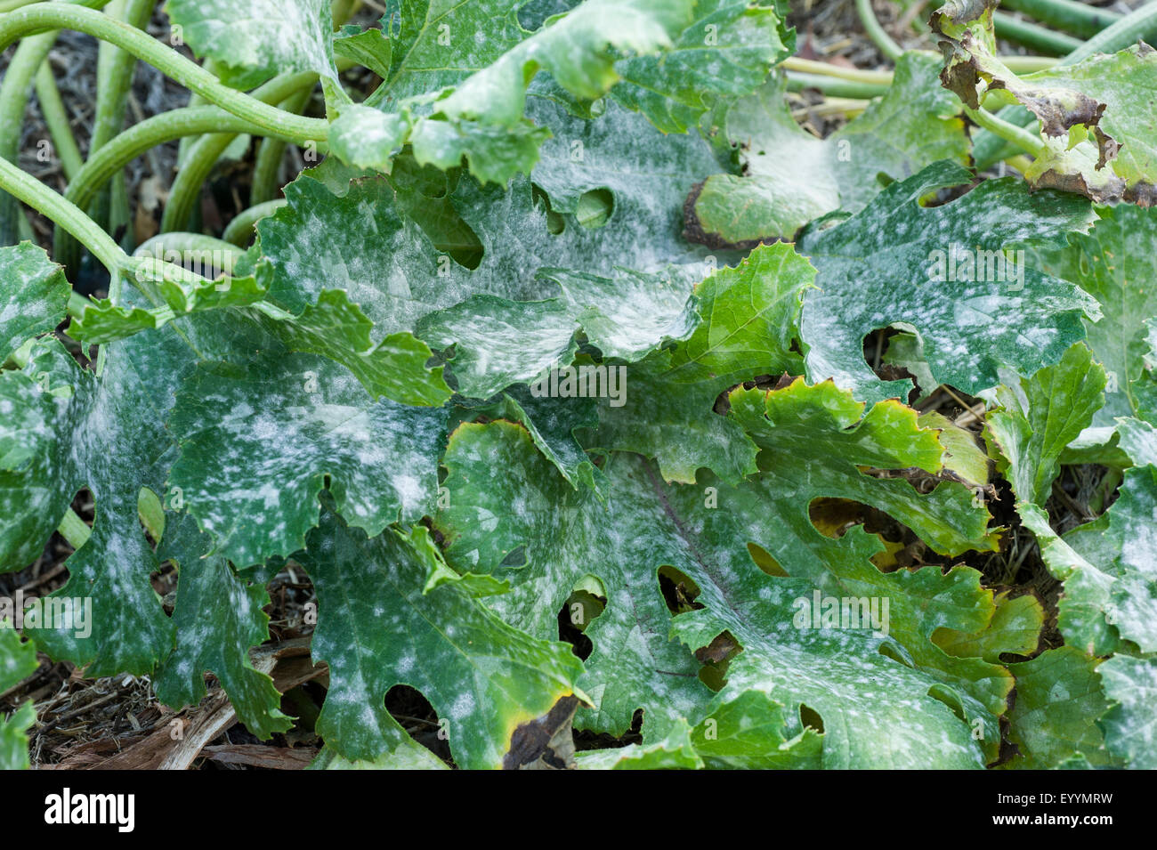 Severe powdery mildew symptoms on zucchini leaves - Stock Image