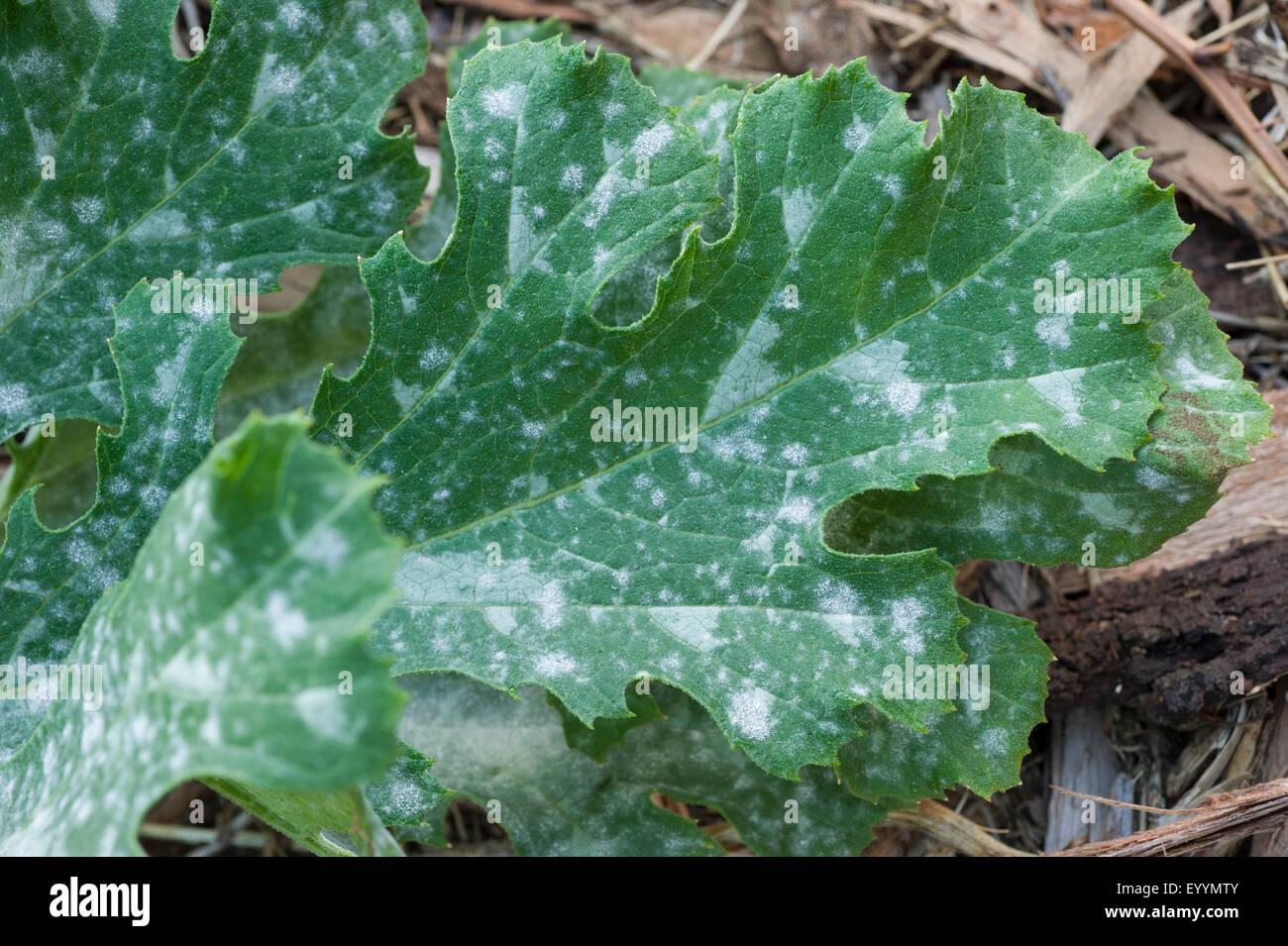 Powdery mildew on zucchini leaves - Stock Image