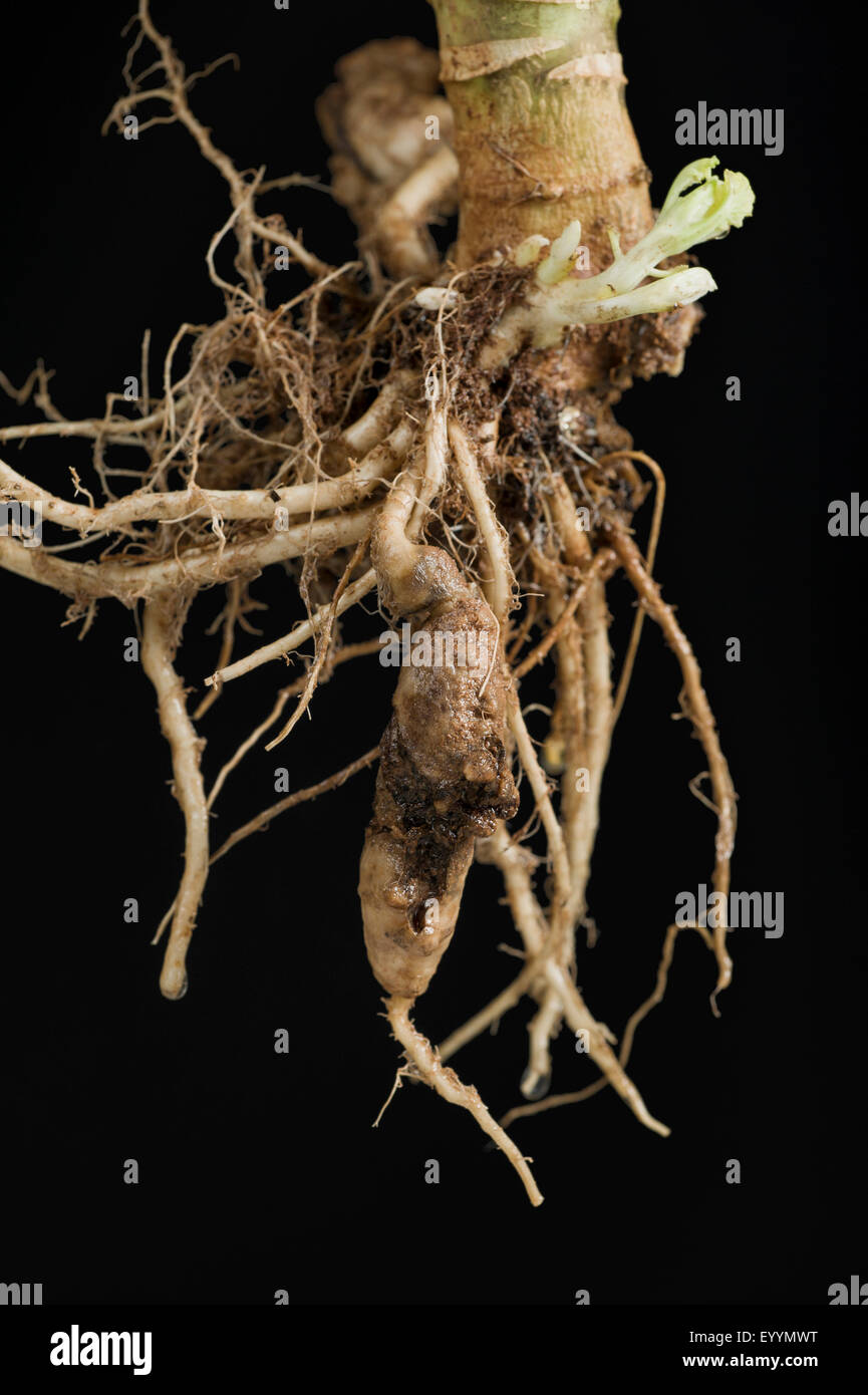 Club root symptoms of cauliflower photographed against a black background. - Stock Image