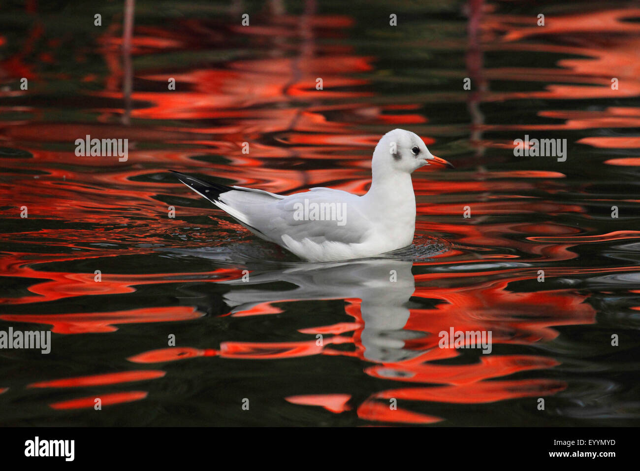black-headed gull (Larus ridibundus, Chroicocephalus ridibundus), swims in evening light, Germany - Stock Image