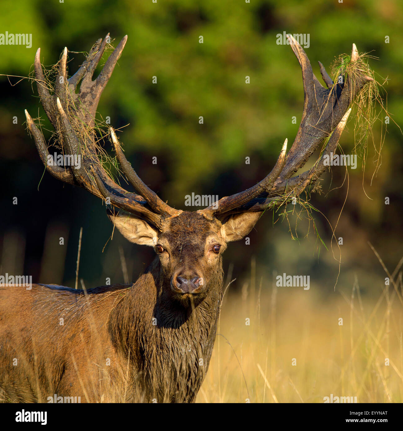 red deer (Cervus elaphus), portrait of a imposing stag, Denmark - Stock Image