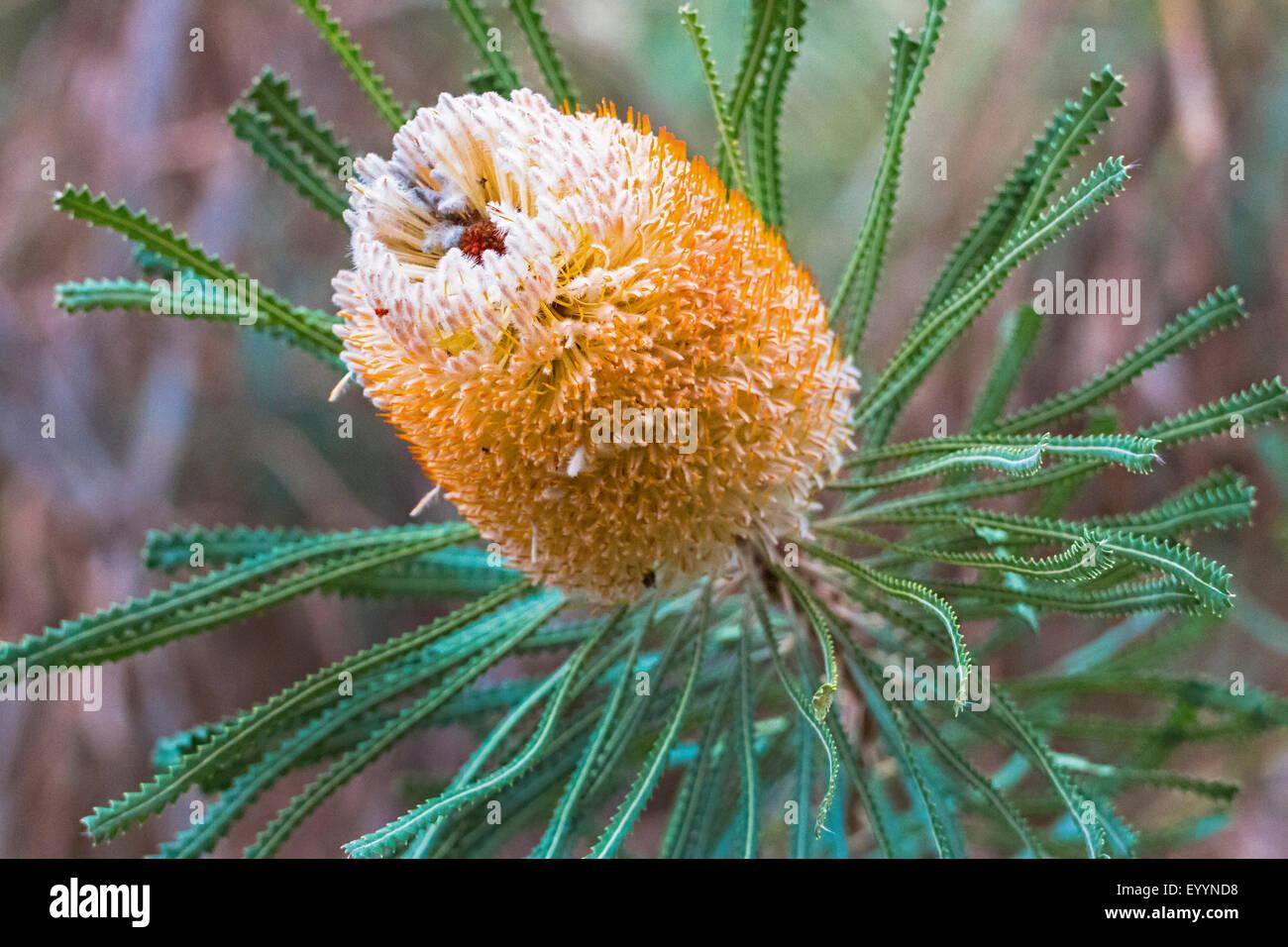 Hooker�s Banksia (Banksia hookeriana), inflorescence, Australia, Western Australia - Stock Image