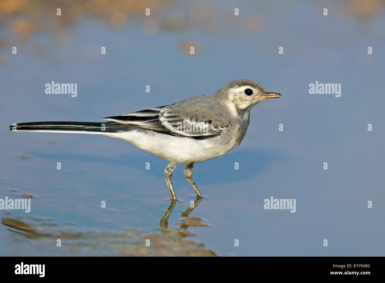 pied wagtail (Motacilla alba), immature pied wagtail stands in shallow water, Bulgaria, Kaliakra - Stock Image