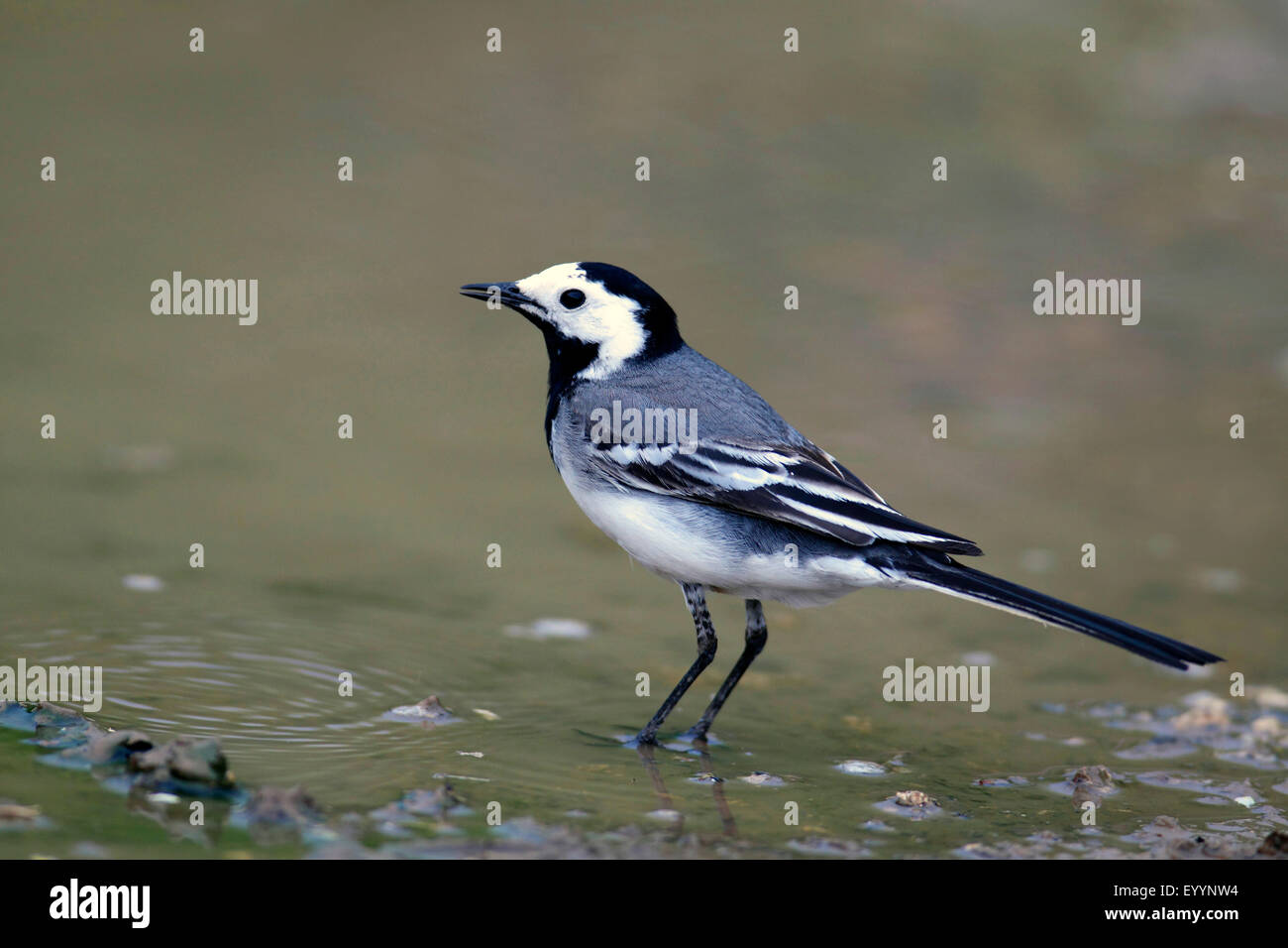pied wagtail (Motacilla alba), pied wagtail stands in shallow water, Bulgaria, Kaliakra - Stock Image