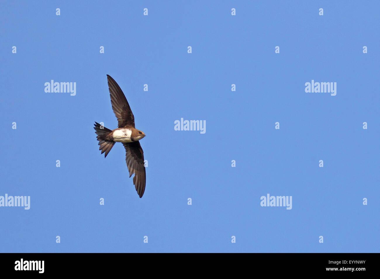 alpine swift (Apus melba, Tachymarptis melba), flying, Bulgaria, Kaliakra Stock Photo