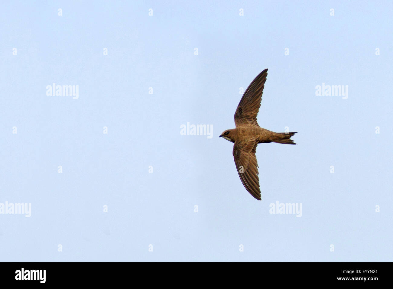 alpine swift (Apus melba, Tachymarptis melba), flying, Bulgaria, Kaliakra Stock Photo