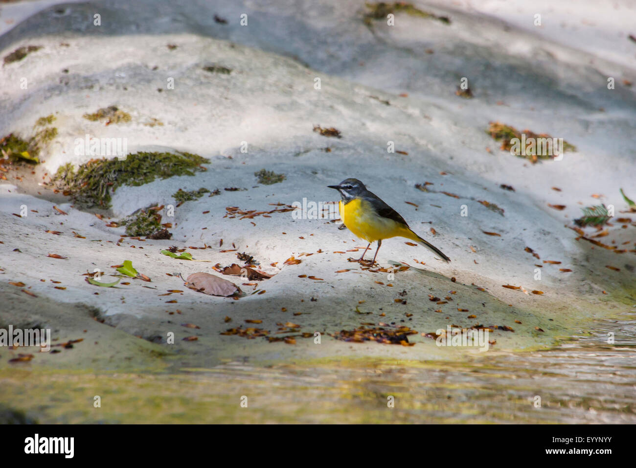 grey wagtail (Motacilla cinerea), searching food at a brookside, Switzerland, Sankt Gallen - Stock Image
