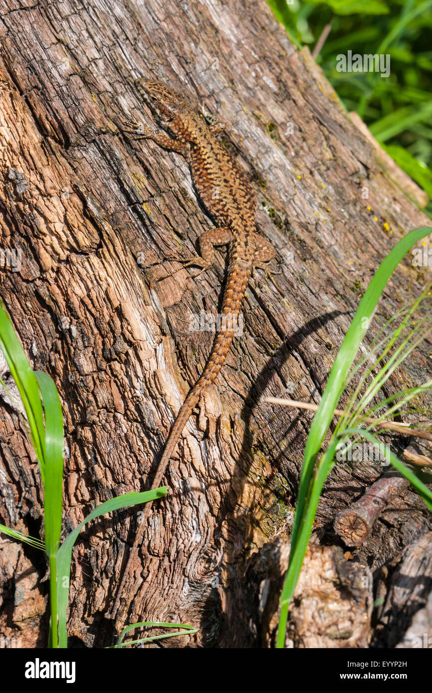 common wall lizard (Lacerta muralis, Podarcis muralis), sunbathing at an old tree in the early morning, Switzerland, - Stock Image