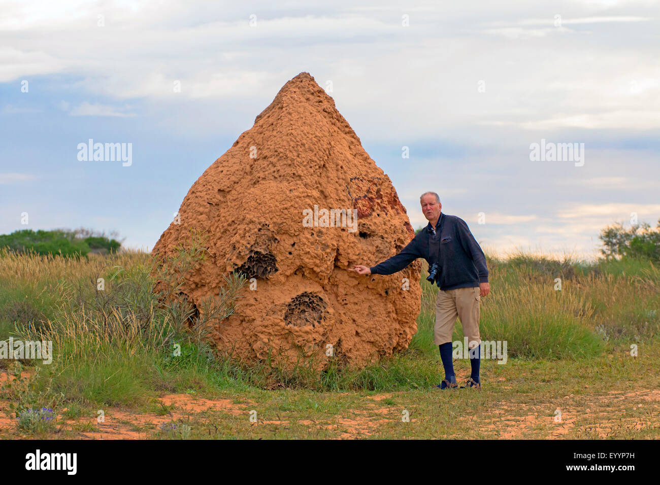 termite hill with a human for scale comparison, Australia, Western Australia, Cardabia - Stock Image