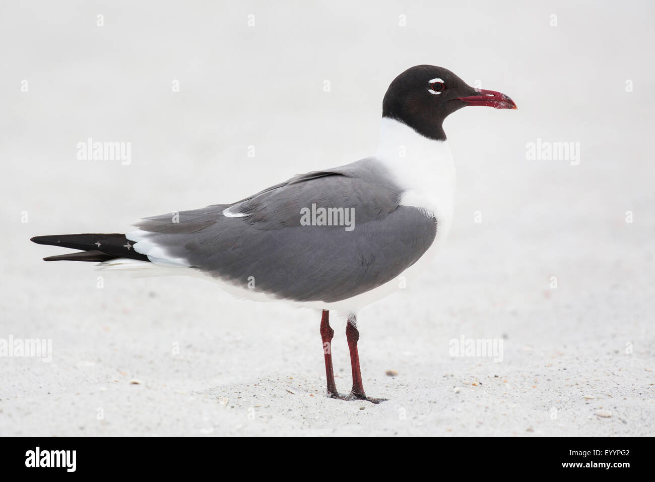 laughing gull (Larus atricilla), standing in the sand, USA, Florida, Westkueste, Kissimmee - Stock Image