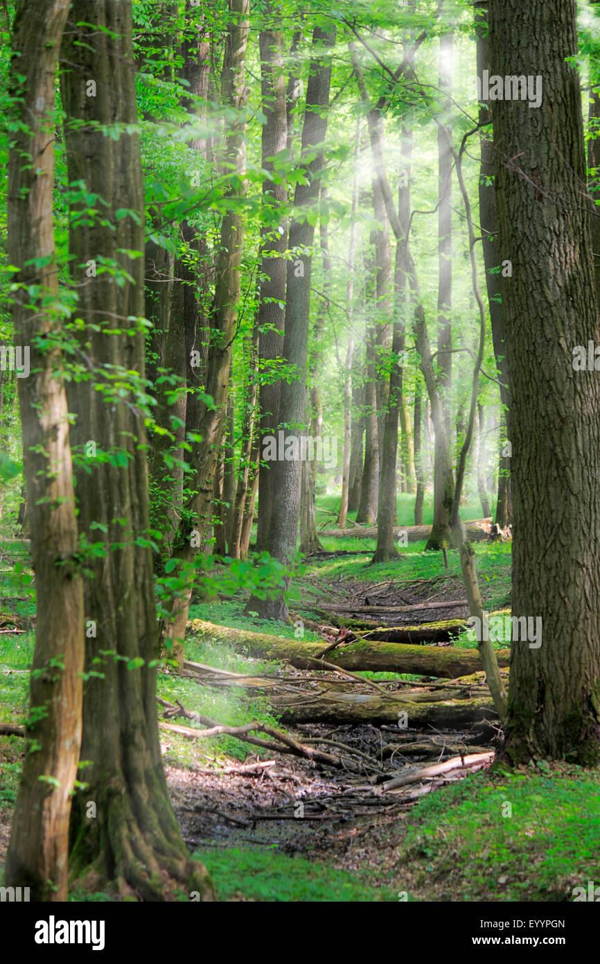 broadleaf forest in backlight with sunrays, Germany, Baden-Wuerttemberg, Ortenau - Stock Image