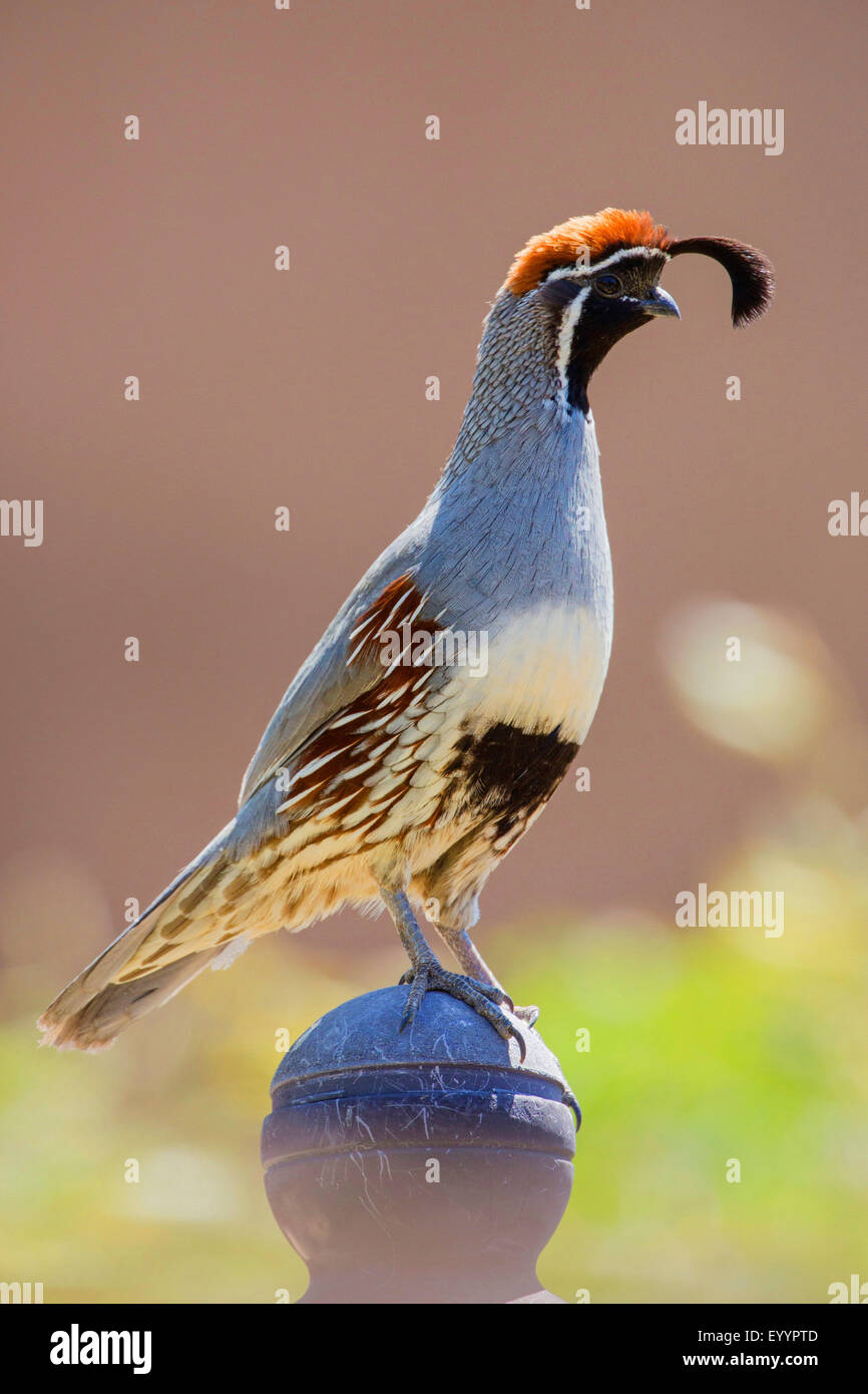 Gambel's quail  (Callipepla gambelii fulvipectus), male, USA, Arizona - Stock Image