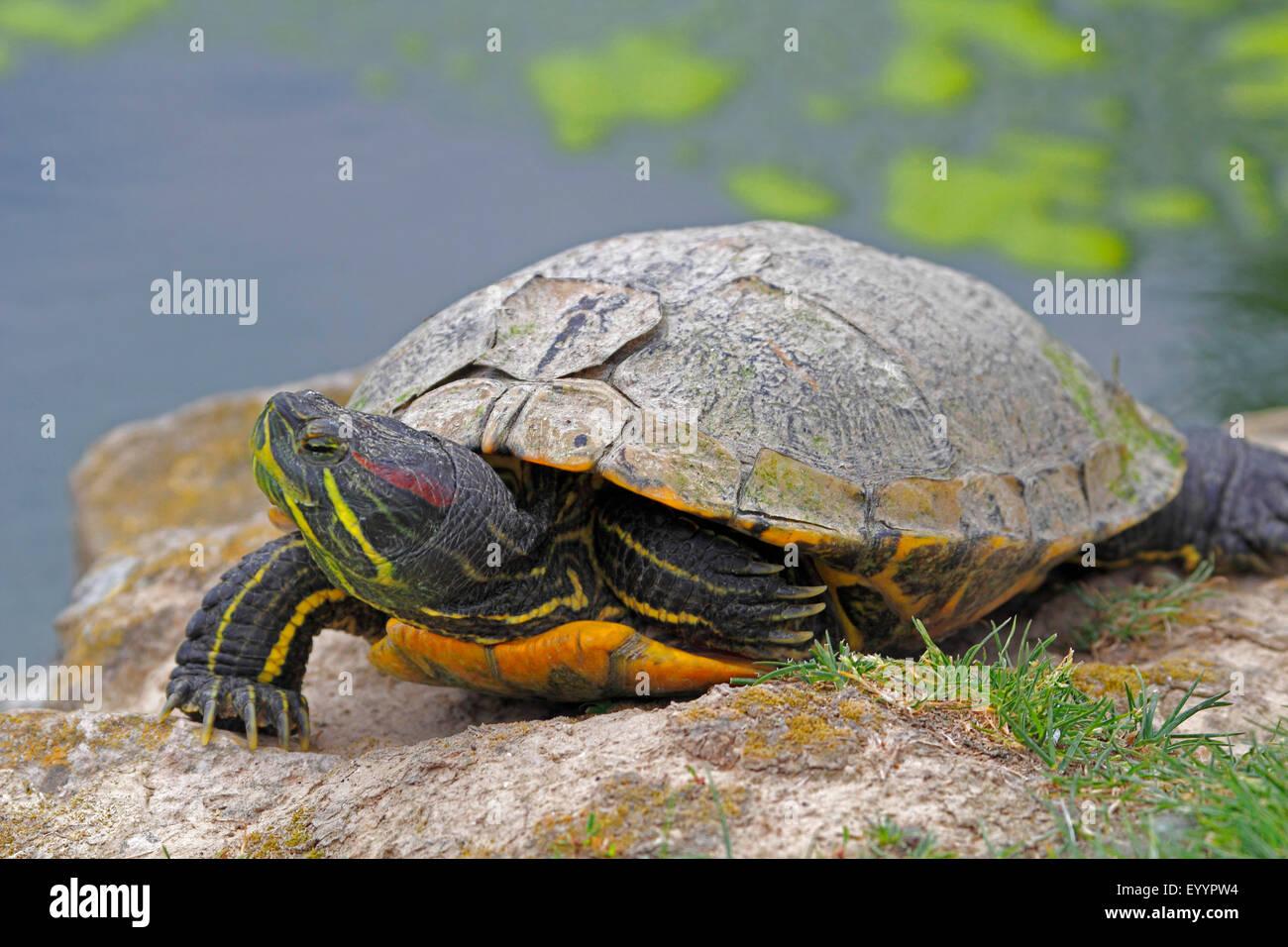 red-eared turtle, red-eared slider (Pseudemys scripta elegans, Trachemys scripta elegans, Chrysemys scripta elegans), - Stock Image