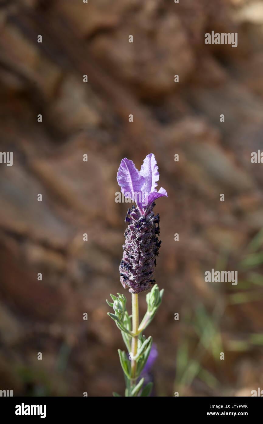 Lavendula stoechas growing in Parque Natural do Sudoeste Alentejano e Costa Vicentina, Western Portugal. April. Stock Photo