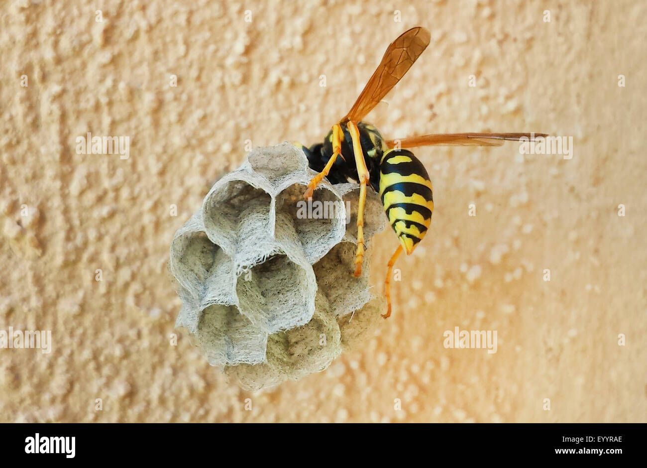 Paper wasp (Polistes spec.), building a wasp nest at a ...