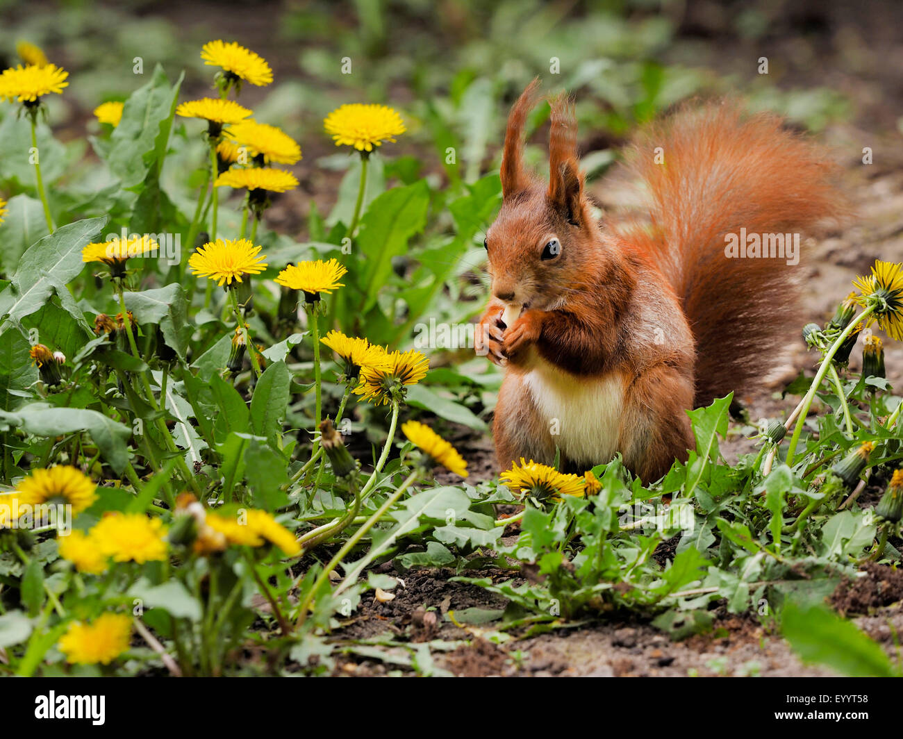European red squirrel, Eurasian red squirrel (Sciurus vulgaris), in a meadow with dandelion, Germany, Saxony - Stock Image