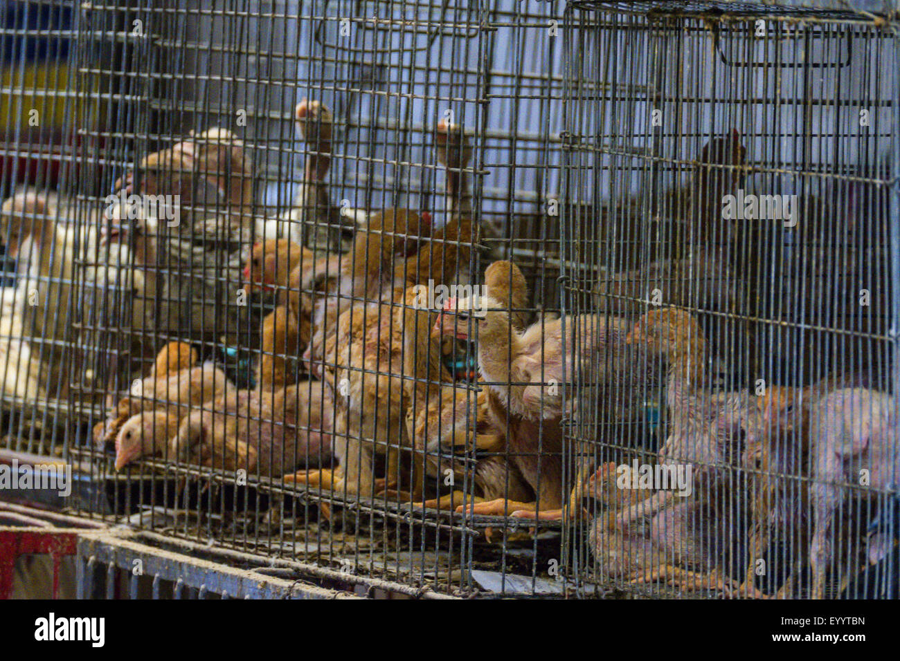 living poultry at a market near Lampang, Thailand - Stock Image