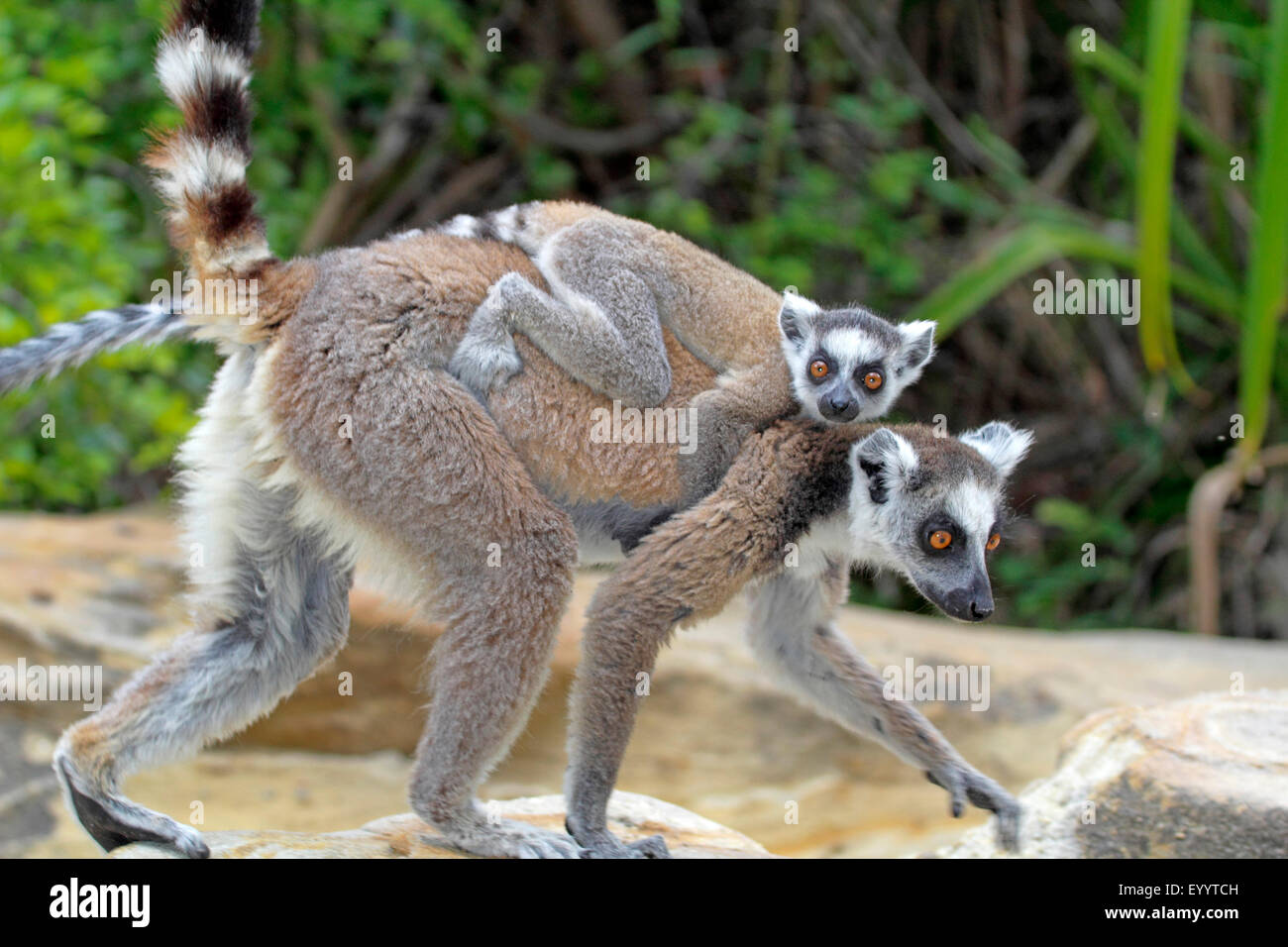 ring-tailed lemur (Lemur catta), female with pup on her back, Madagascar, Andringitra National Park - Stock Image