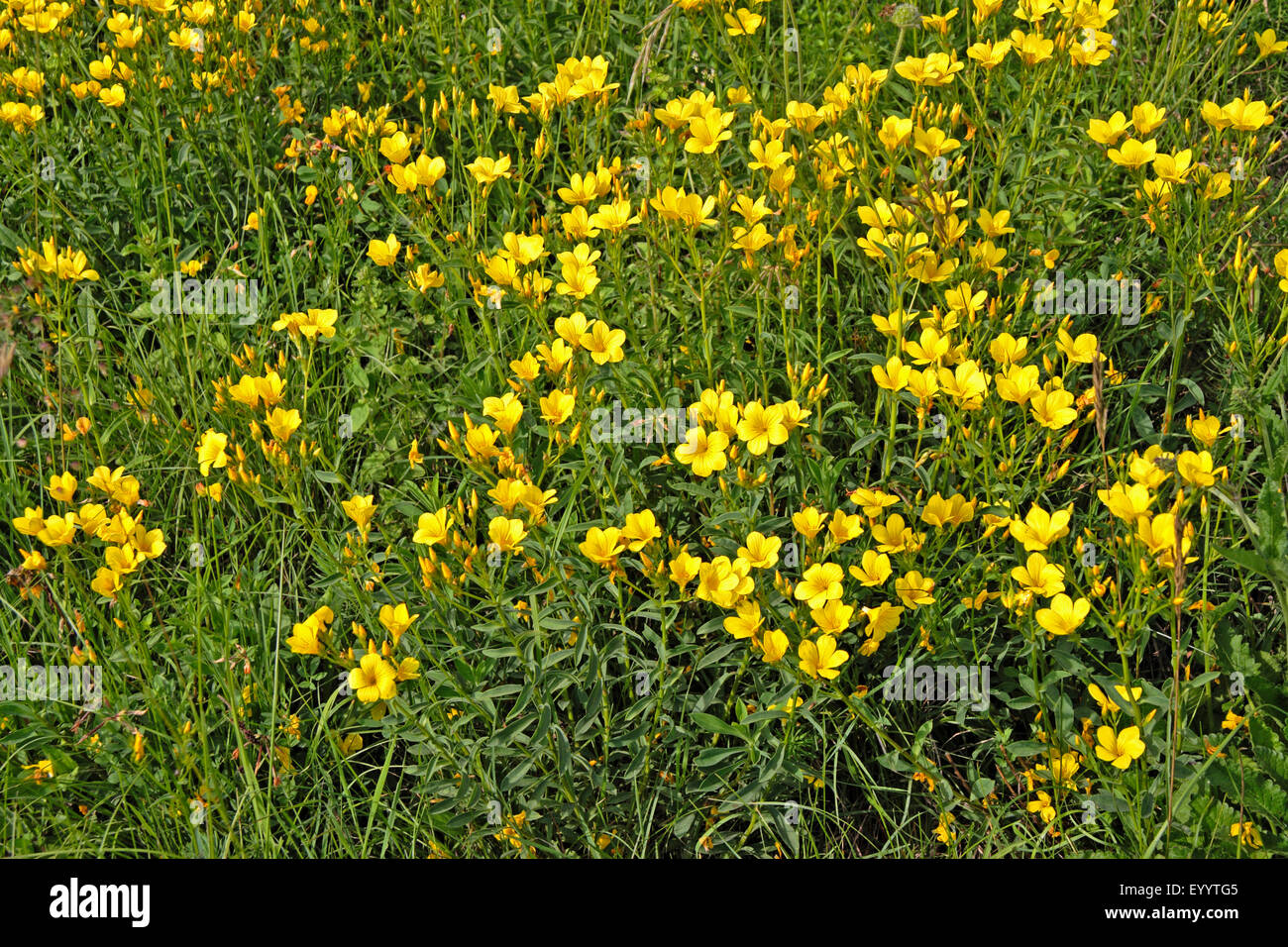 Yellow flowers golden flax linum stock photos yellow flowers golden flax yellow flax linum flavum blooming germany stock image mightylinksfo