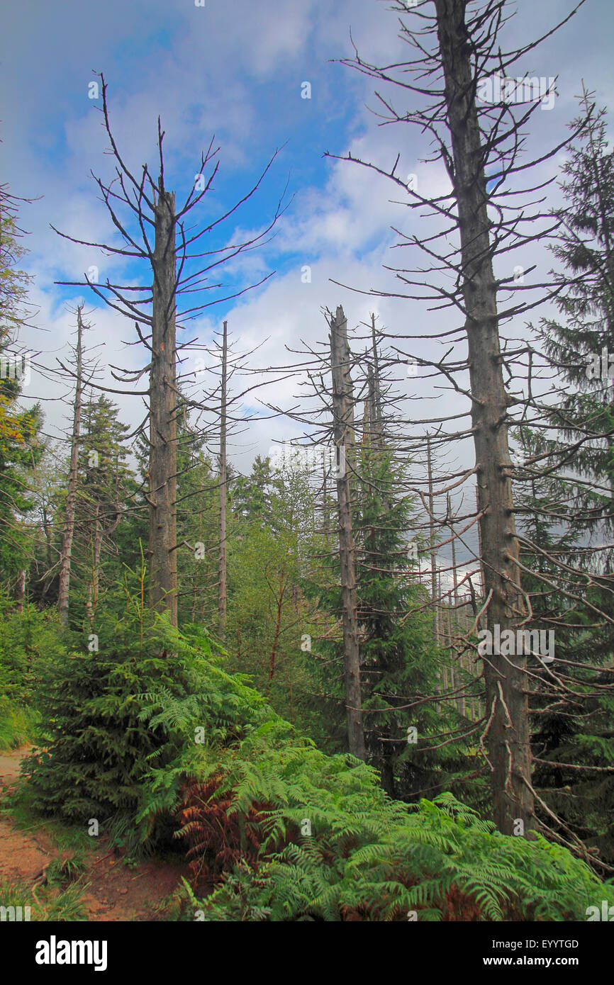 dead spruces , Germany, Baden-Wuerttemberg, Black Forest National Park Stock Photo