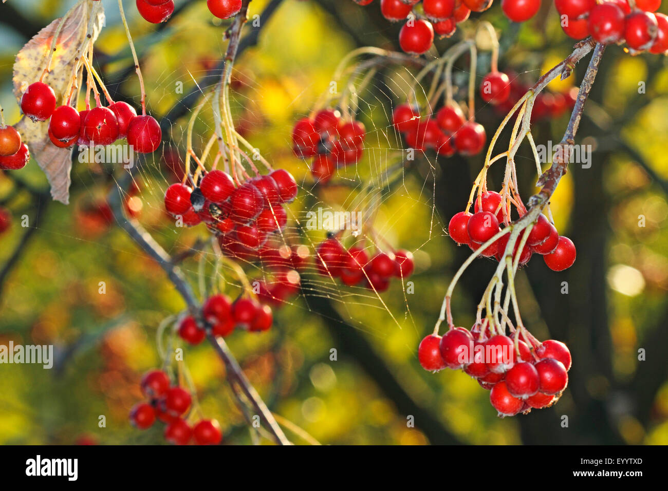 common whitebeam (Sorbus aria), fruits on a twig, Germany - Stock Image