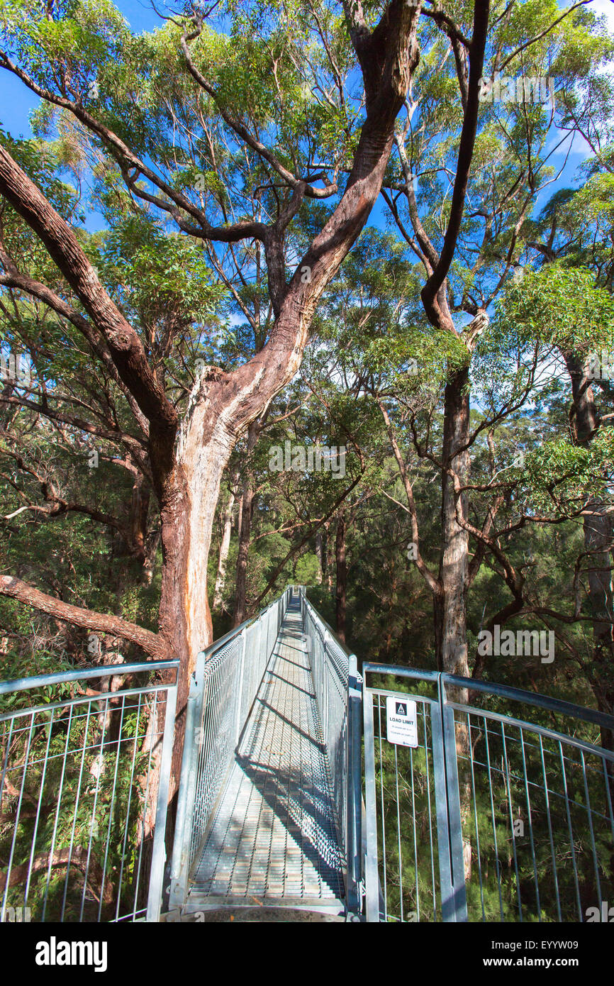 tree top walk in Valley of the Giants, Australia, Western Australia, Walpole Nornalup National Park - Stock Image
