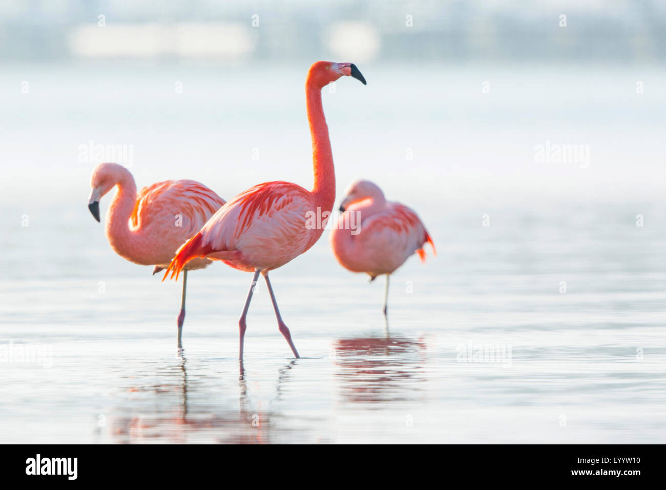 Chilean flamingo (Phoenicopterus chilensis), group stands in shallow water, Germany, Bavaria, Lake Chiemsee, Seebruck - Stock Image