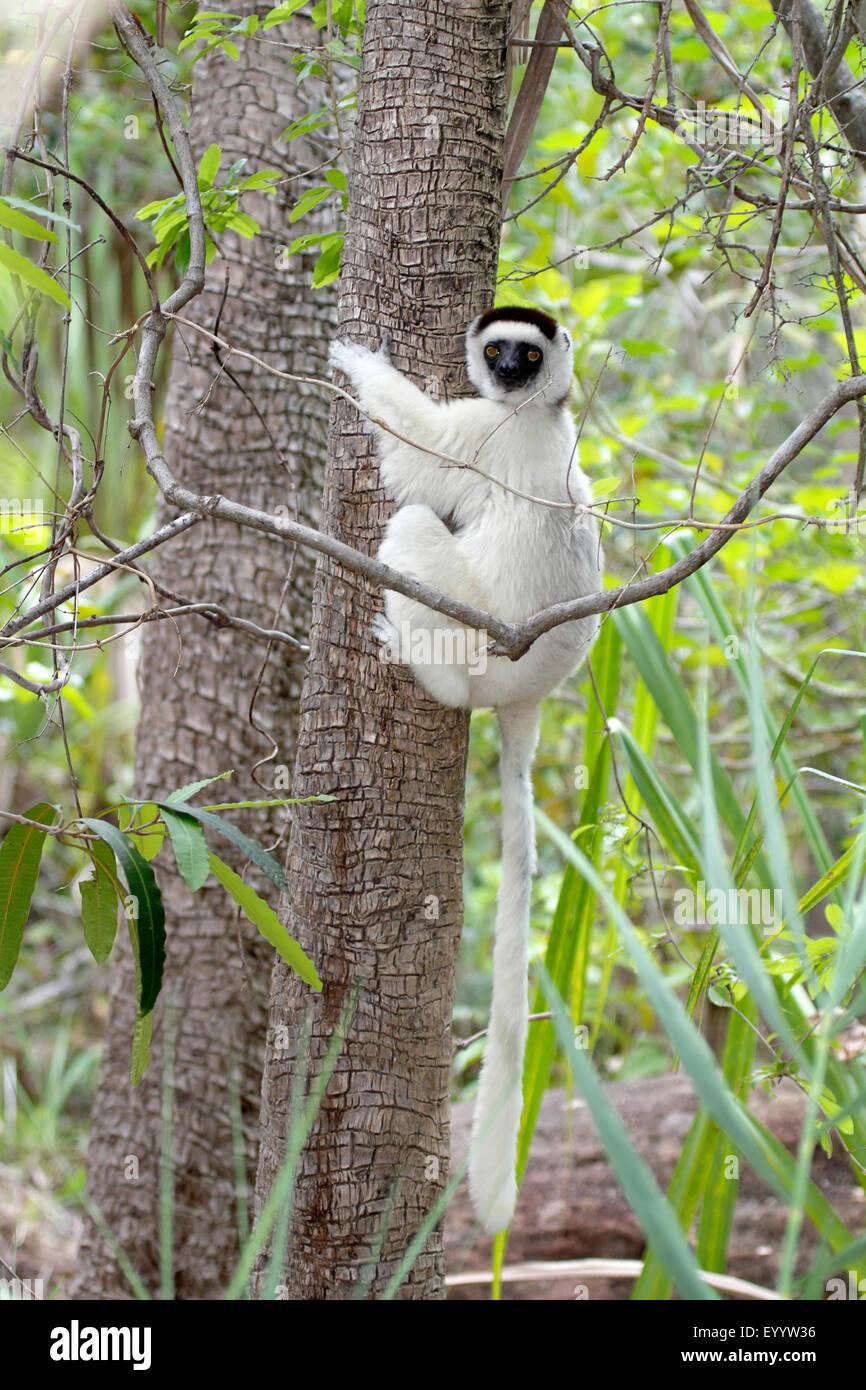 Verreaux's sifaka (Propithecus verreauxi), clinging to a tree trunk, Madagascar, Isalo National Park - Stock Image