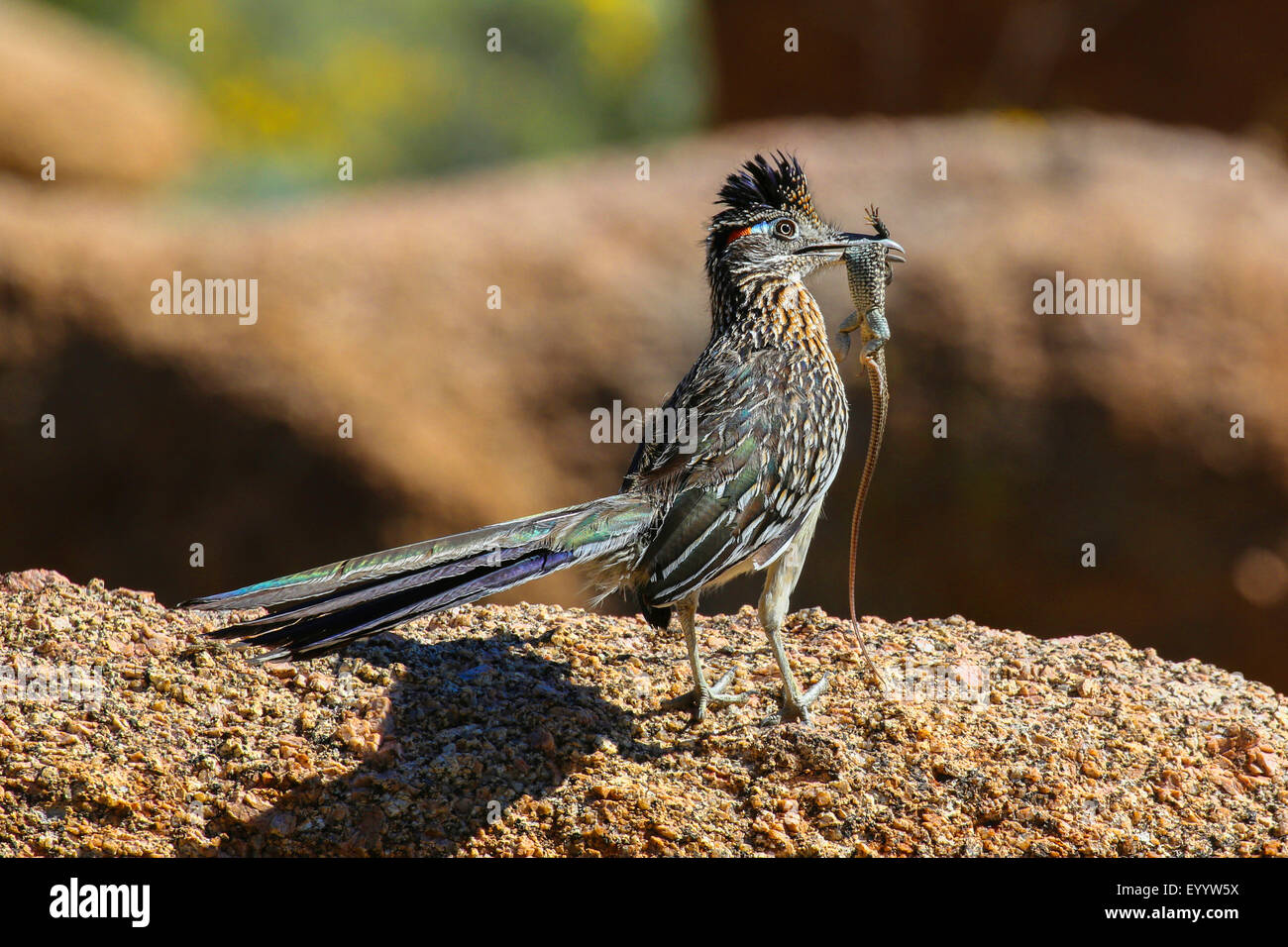 Lesser road-runner (Geococcyx velox), with caught lizzard in its bill, USA, Arizona, Pinnacle Peak - Stock Image