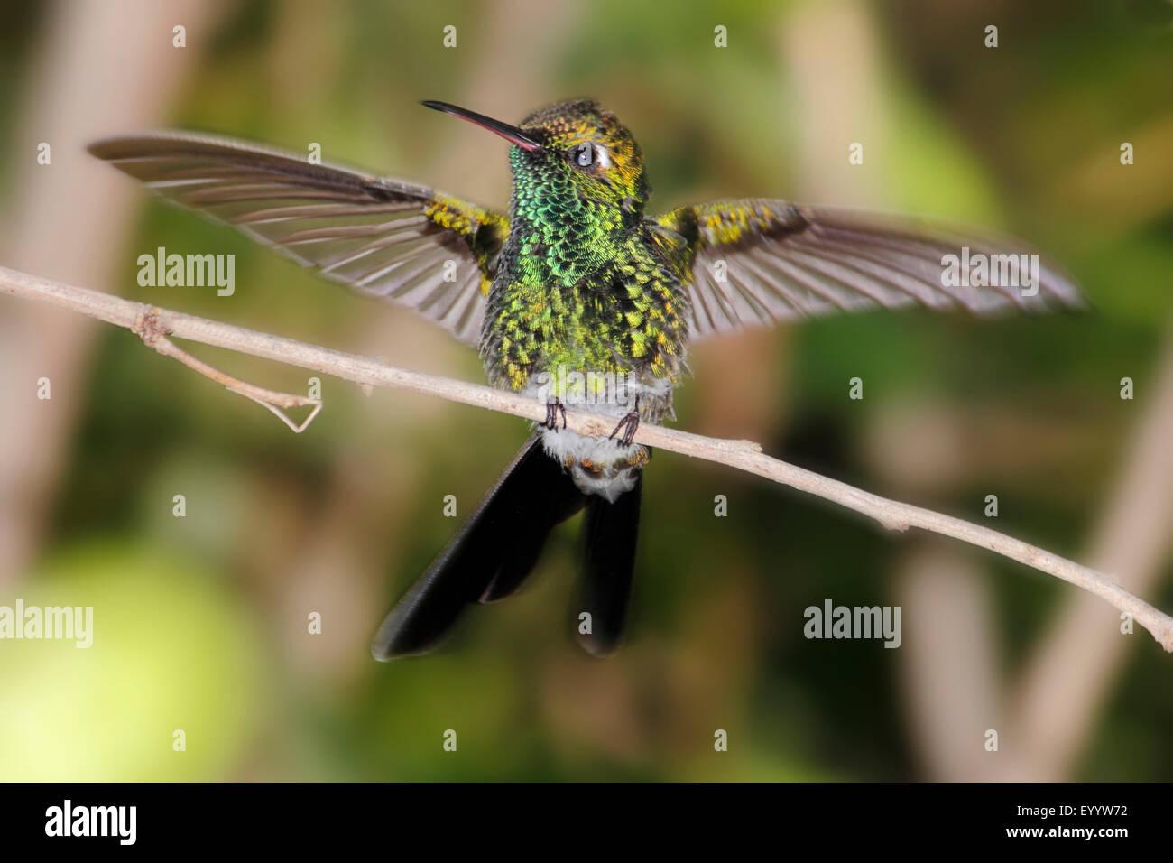 Cuban emerald (Chlorostilbon ricordii), bird is sitting on a branch spreading its wings, Cuba - Stock Image