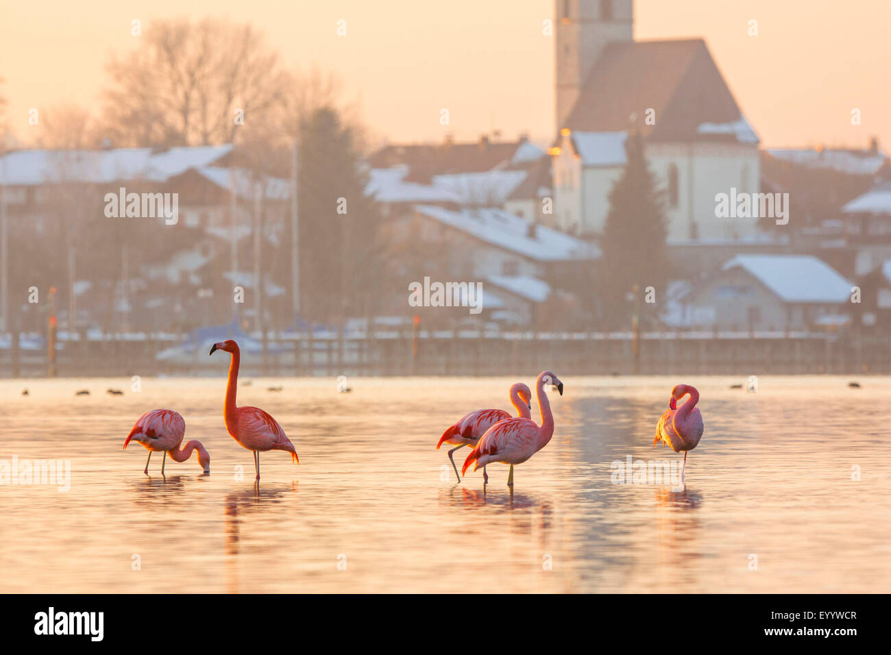 Chilean flamingo (Phoenicopterus chilensis), group stands in shallow water in front of village, Germany, Bavaria, - Stock Image
