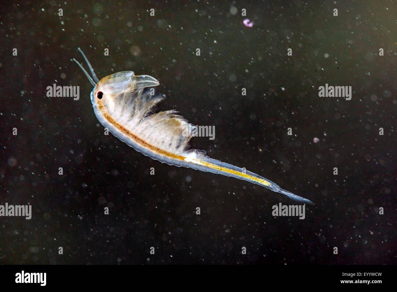 macrocrustacean, Anostraca (Branchinecta orientalis), swimming male - Stock Image