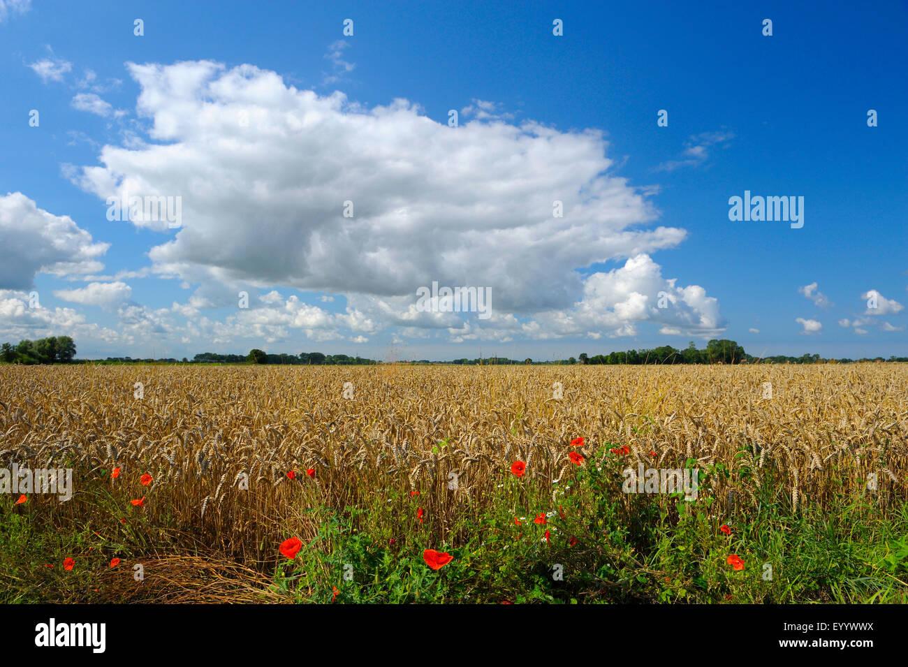 ripe wheat field in summer, Germany, Lower Saxony, Otterndorf - Stock Image