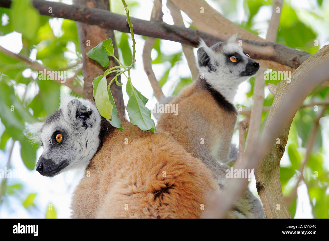 ring-tailed lemur (Lemur catta), two animals are sitting on a branch and looking in different directions, Madagascar, - Stock Image