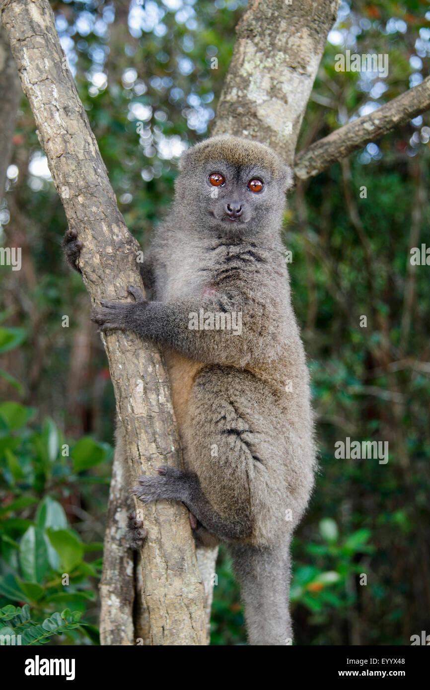 Eastern lesser bamboo lemur, Eastern grey bamboo lemur, Eastern grey gentle lemur (Hapalemur griseus), is clinging - Stock Image