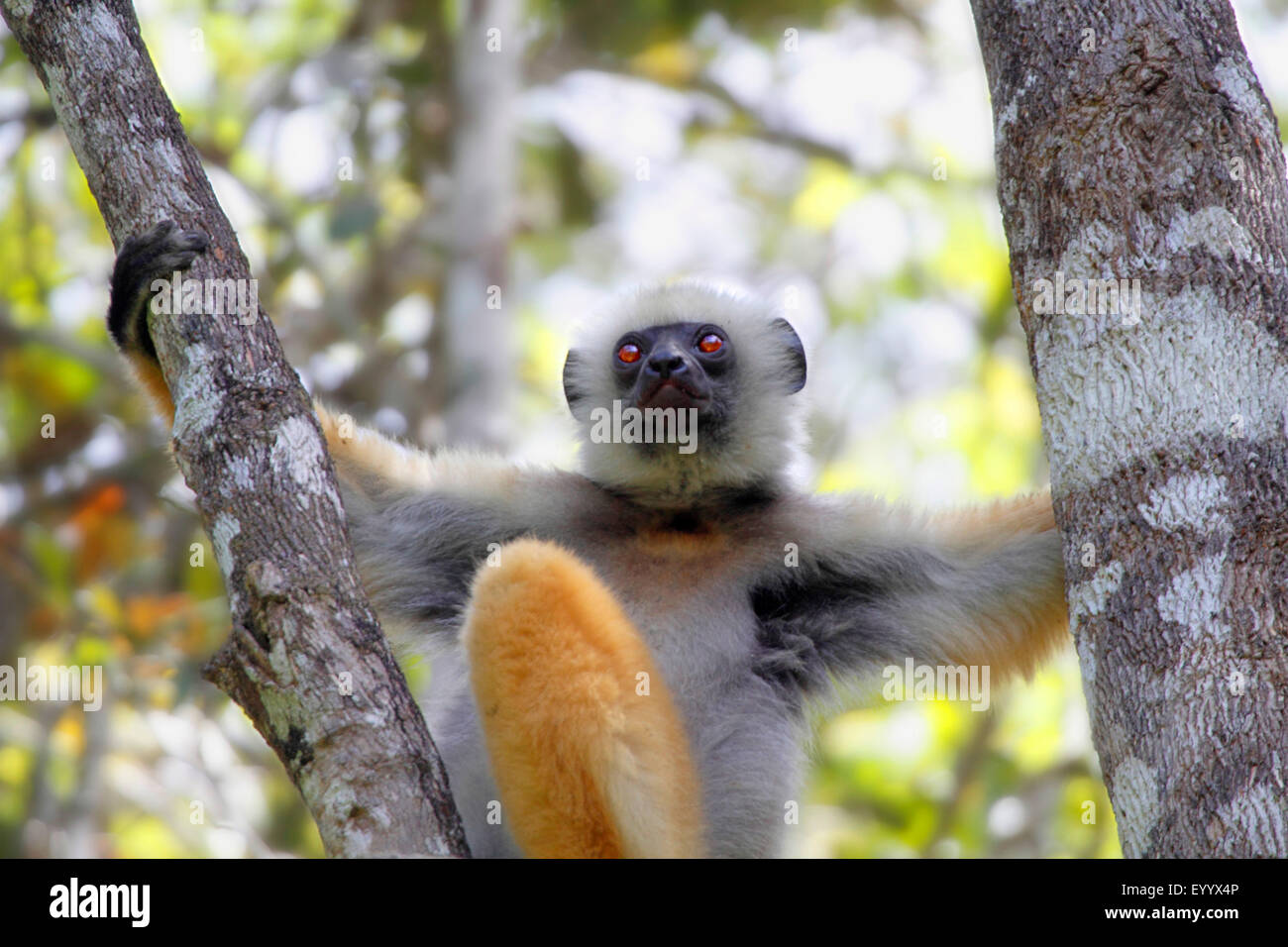 diadem sifaka, diademed sifaka (Propithecus diadema), is sitting on a fork of a branch, Madagascar, Analamazaotra - Stock Image