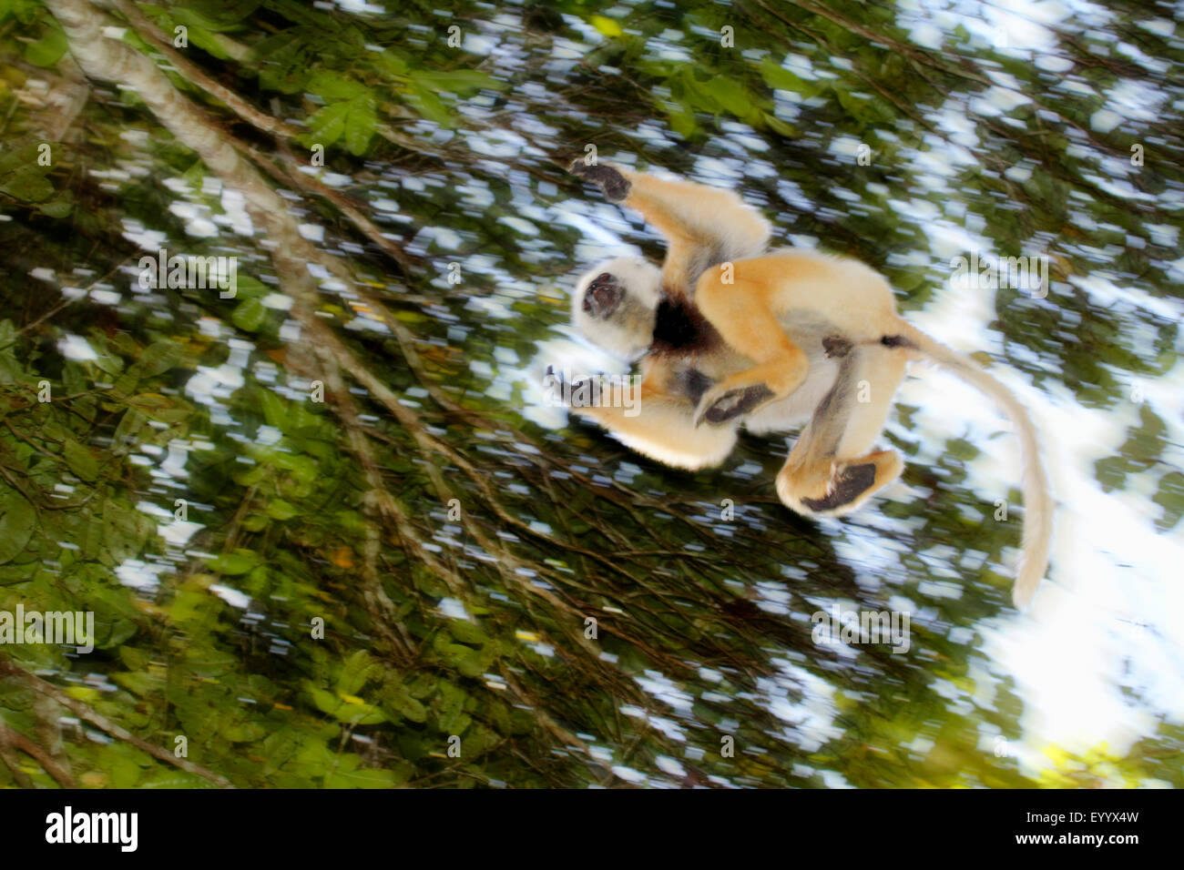 diadem sifaka, diademed sifaka (Propithecus diadema), jumping from tree to tree, Madagascar, Analamazaotra National - Stock Image