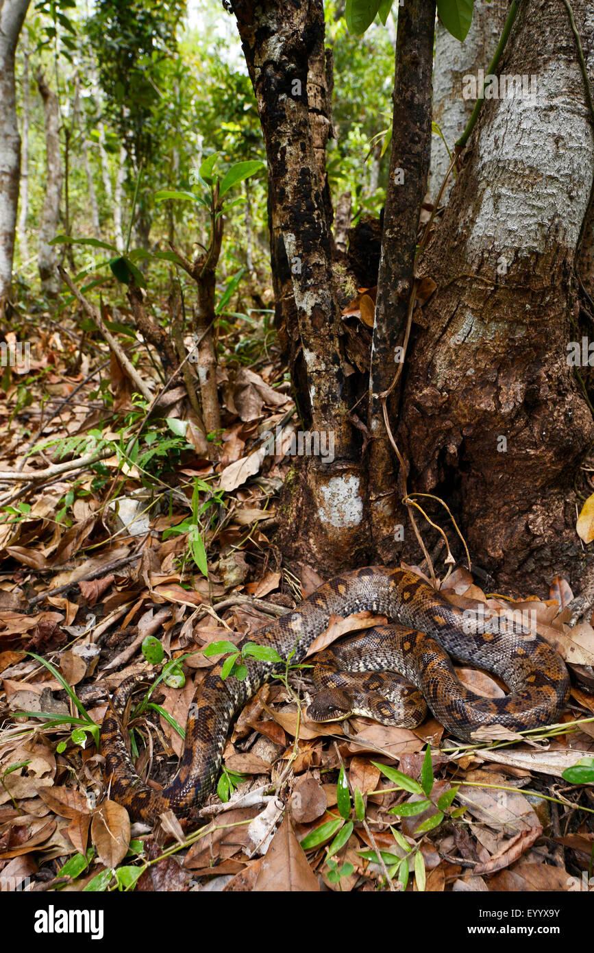 Madagascar tree boa (Sanzinia madagascariensis), winds on the groung, Madagascar, Nosy Be, Naturreservat Lokobe - Stock Image