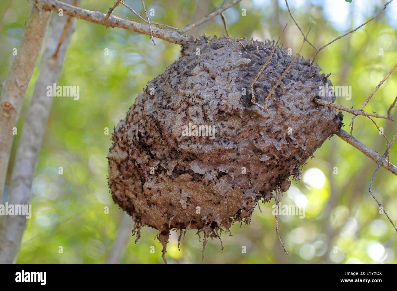 termite isoptera nest at a tree madagascar andringitra national park