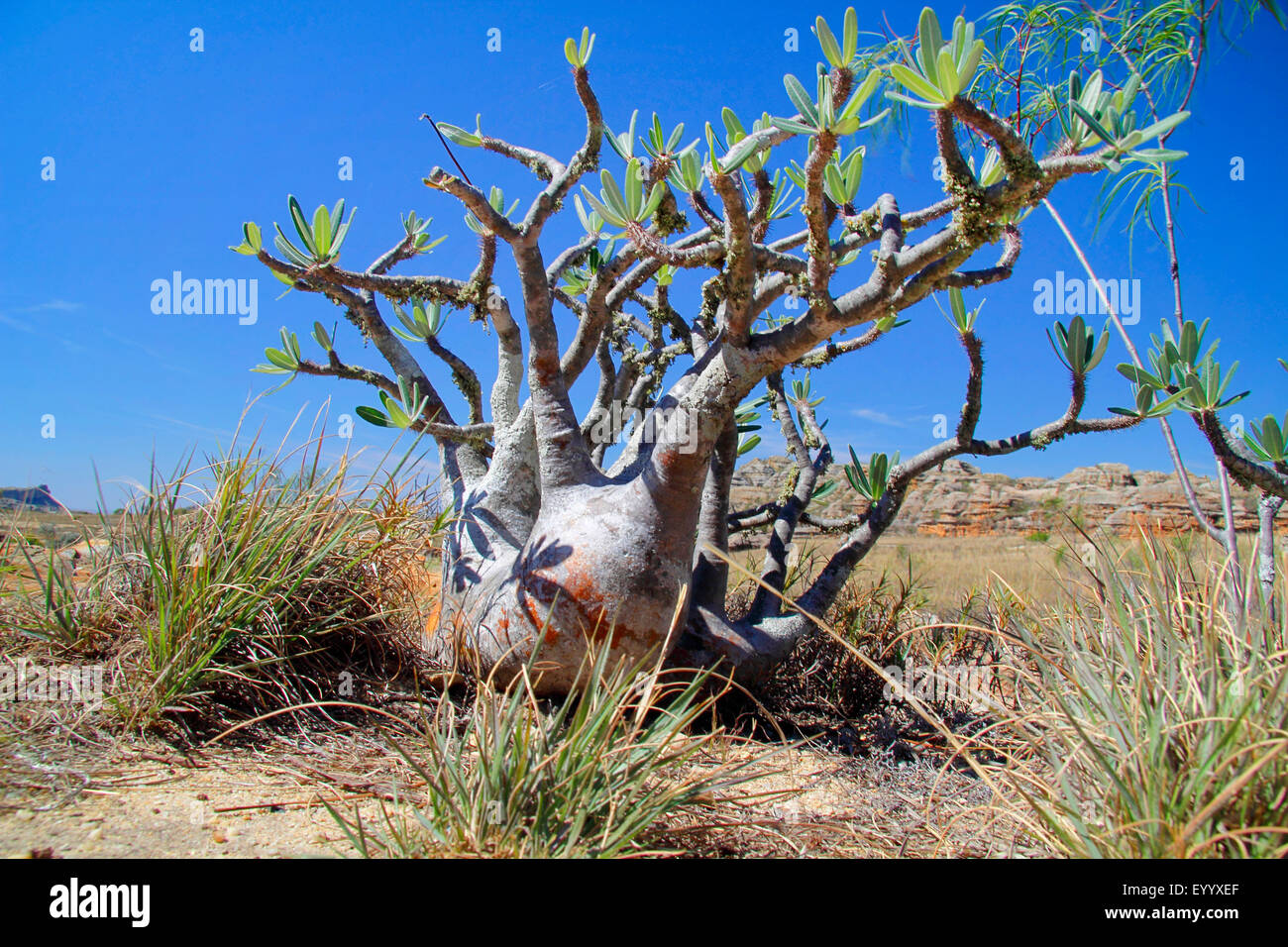 Elephant's Foot Plant  (Pachypodium rosulatum ), single plant in front of the the mountains, Madagascar, Isalo - Stock Image