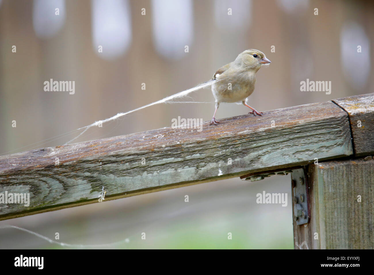 chaffinch (Fringilla coelebs), female catching a spider cocoon for building a nest, Germany, Straubing Stock Photo
