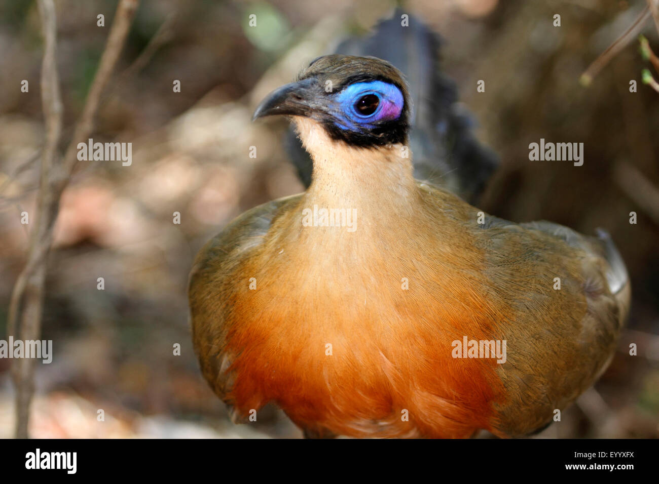 Giant Madagascar coucal, Giant coua (Coua gigas), portrait, Madagascar, Zombitse-Vohibasia National Park - Stock Image