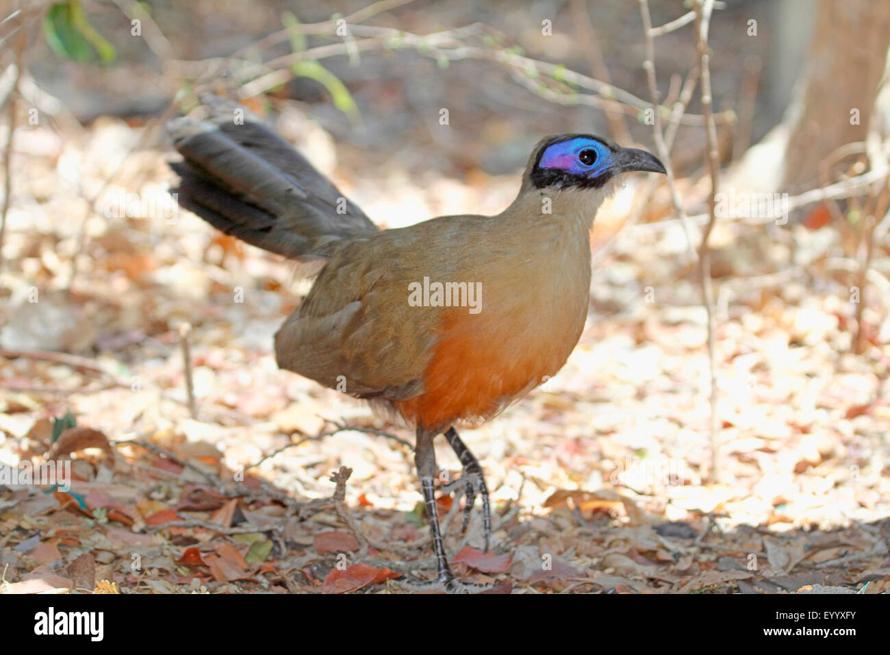 Giant Madagascar coucal, Giant coua (Coua gigas), walks on the ground, Madagascar, Zombitse-Vohibasia National Park - Stock Image