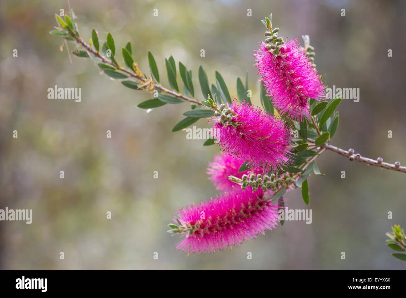 Crimson bottlebrush (Callistemon citrinus), inflorescences, USA, Arizona, Boyce Thompson Arboretum - Stock Image