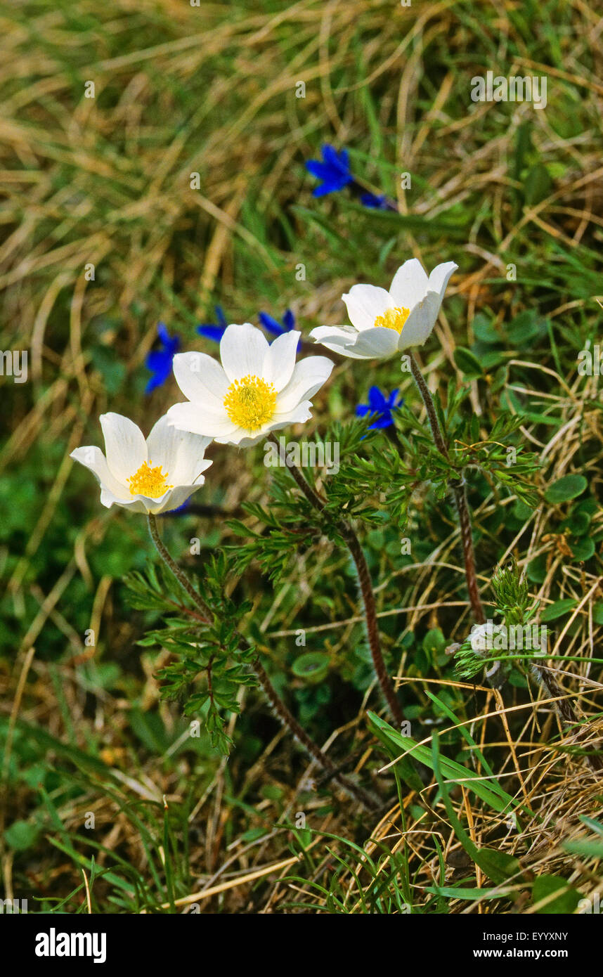 Alpine anemone (Pulsatilla alpina), blooming together with gentians, Germany - Stock Image